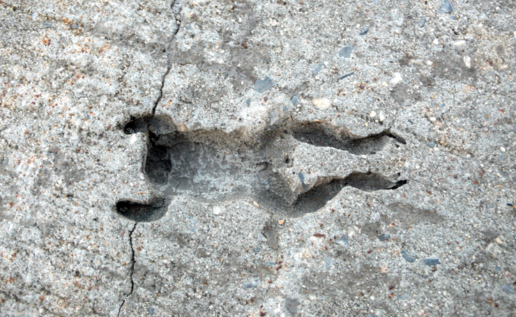 "Urban Fossil ""Frog"" (Photo © Jaime Rojo)"
